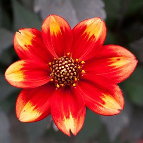 Георгина Dahlegria Bicolor фото