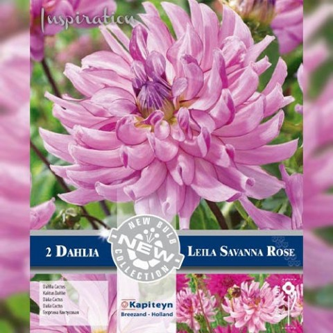 Георгина Leila Savannah Rose (Брендовые луковицы KAPITEYN®) фото