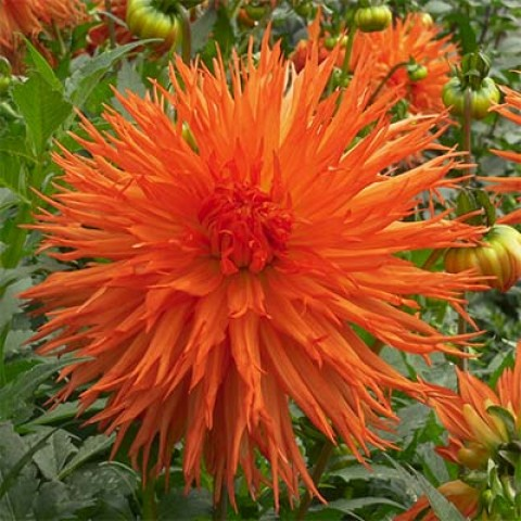 Георгина Mel's Orange Marmalade фото