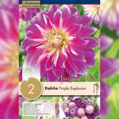 Георгина Purple Explosion (Брендовые луковицы KAPITEYN®) фото