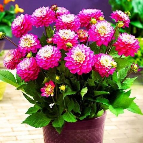 Георгина Melody Pink Allegro фото