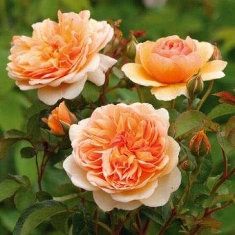 Роза Port Sunlight фото