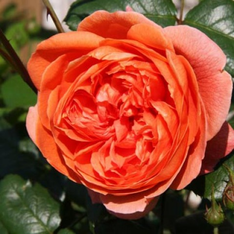 Роза Summer Song фото