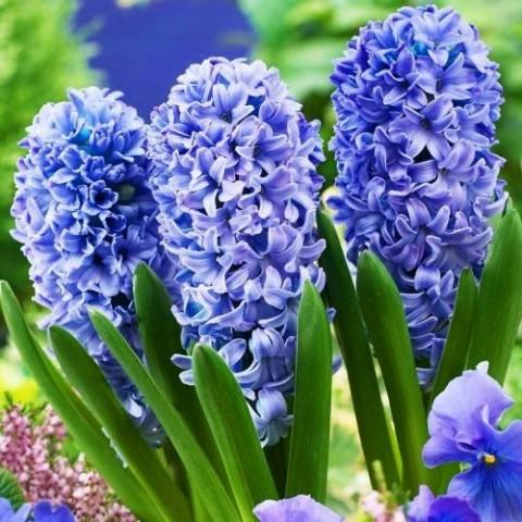 Гиацинт Delft Blue фото