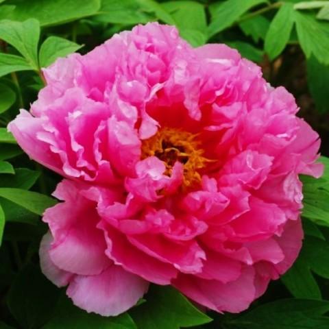 Пион Pink Water-lily Rou Fu Rong древовидный фото