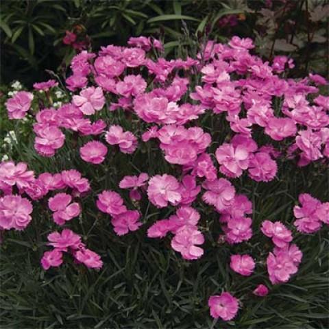 Гвоздика Dinetta Pink фото