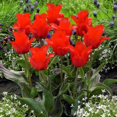 Тюльпан Double Red Riding Hood фото