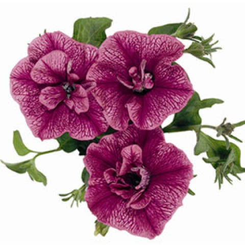 Петуния Double Surprise Purple Vein фото