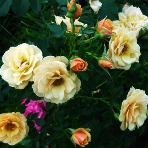 Роза плетистая Zorba фото