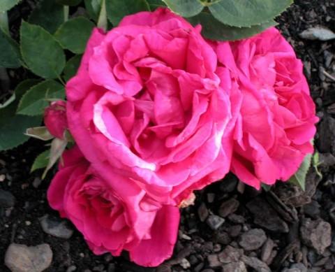 Роза Duke of Edinburgh фото