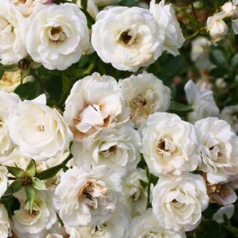 Роза Waltz фото