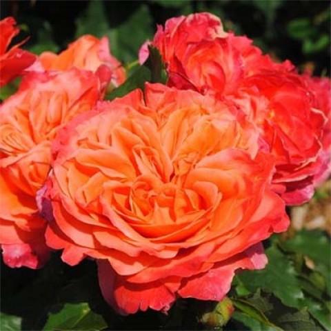 Роза Emillen Guillot фото