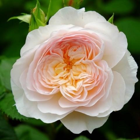 Роза Emily Bronte фото