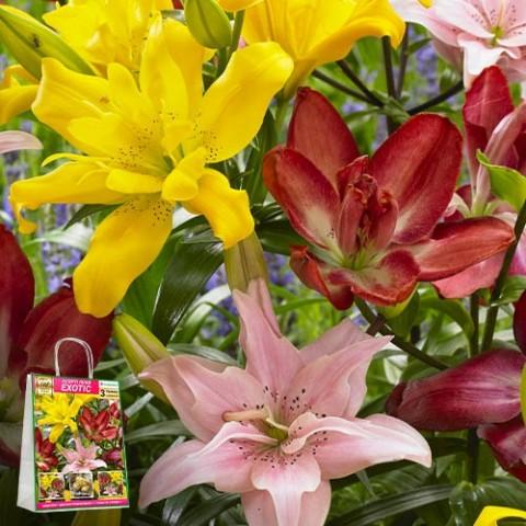Премиум лилии Exotic (брендовая упаковка) фото
