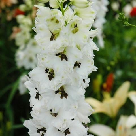 Дельфиниум Magic Fountain White Dark Bee фото