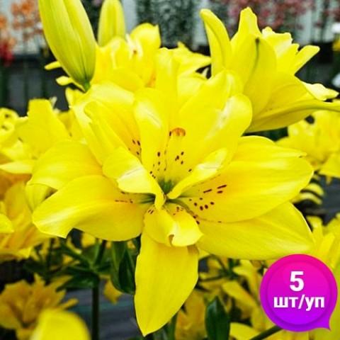 Лилии Fata Morgana (Эконом-упаковка 5 шт) фото