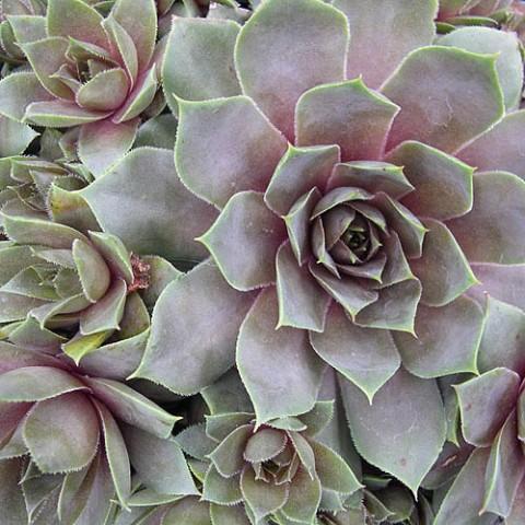 Каменная роза Feldmaier фото