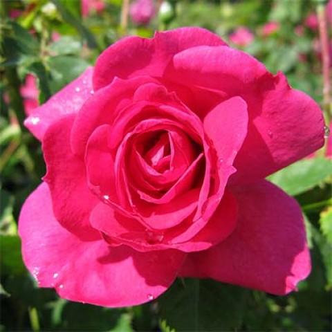 Роза Felix Leclerc фото