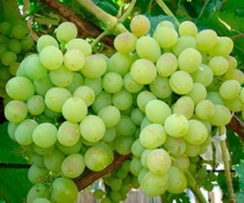 Виноград Восторг фото