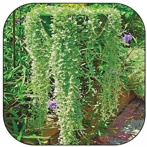 Дихондра Серебряный водопад фото