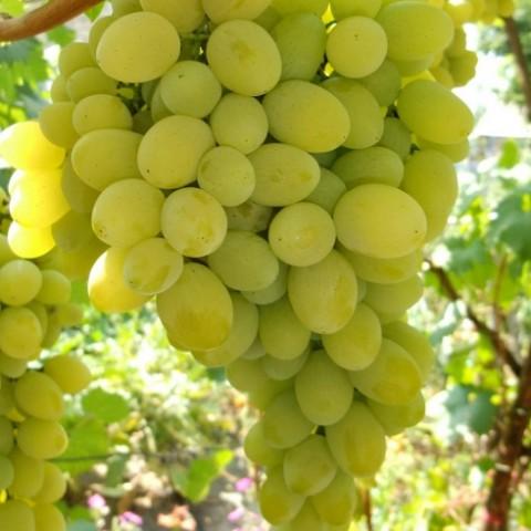 Виноград Августин фото