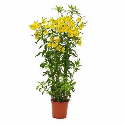 Альстромерия Garden Jewel Yellow фото
