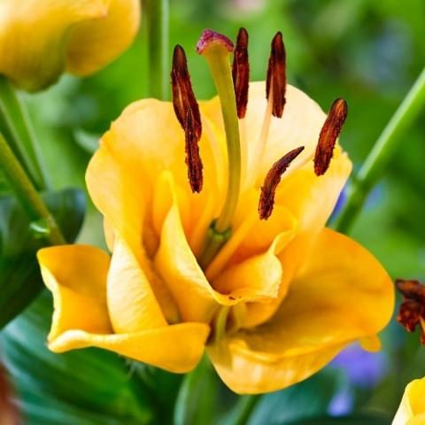 Лилия Apricot Fudge фото