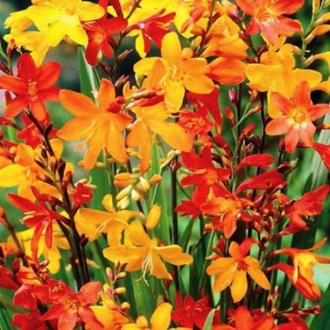 Крокосмия Крупноцветковая Микс фото