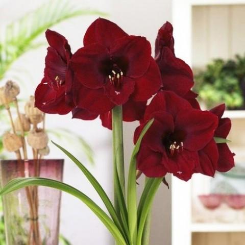 Амариллис Red Pearl фото