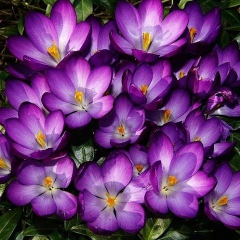 Крокус Barr's Purple фото