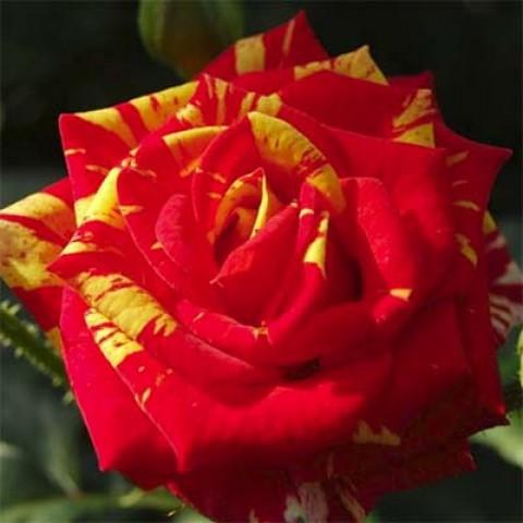 Роза Fire Flash фото