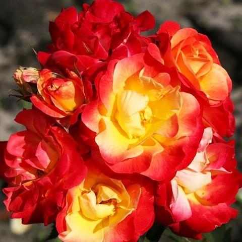 Роза Firebird фото