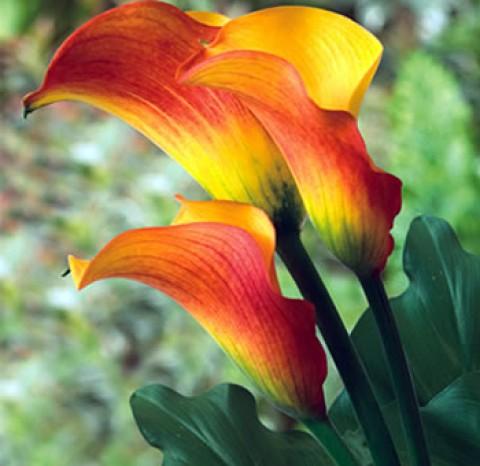 Калла Flame  фото