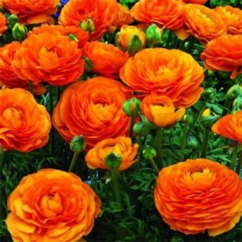 Ранункулюс Aviv (лютик) Orange фото