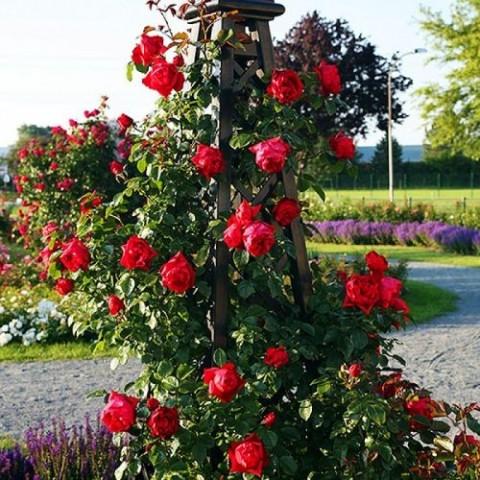 Роза Florentina фото