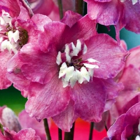 Дельфиниум Magic Fountain Deep Rose White Bee фото