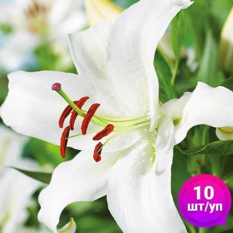 Лилии Forever (Эконом-упаковка 10 шт) фото