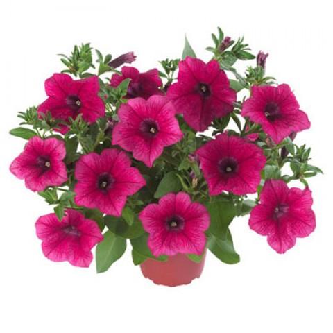 Петуния Fortunia Hot Pink фото