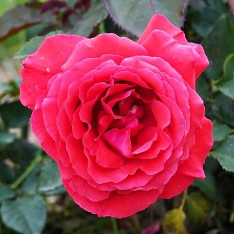 Роза Fragrant Cloud фото