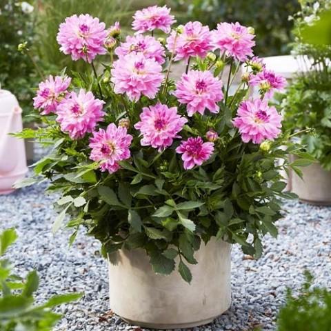 Георгина Garden Sensation фото