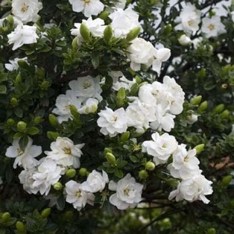 Гардения Crown Jewel фото