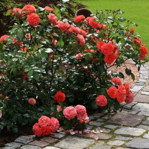 Роза Gebruder Grimm фото