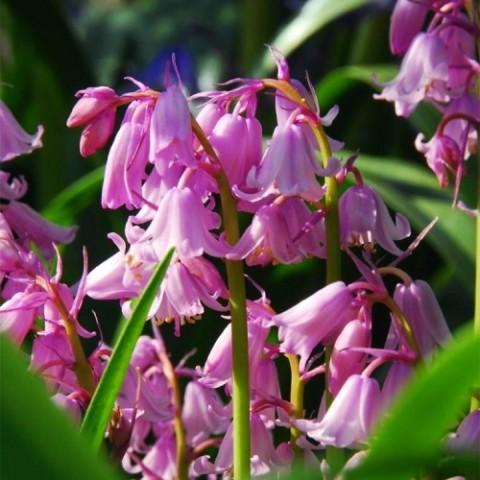 Гиацинтоидес Hispanica Pink фото