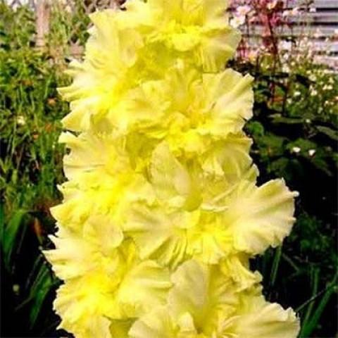 Гладиолус Morning Gold фото