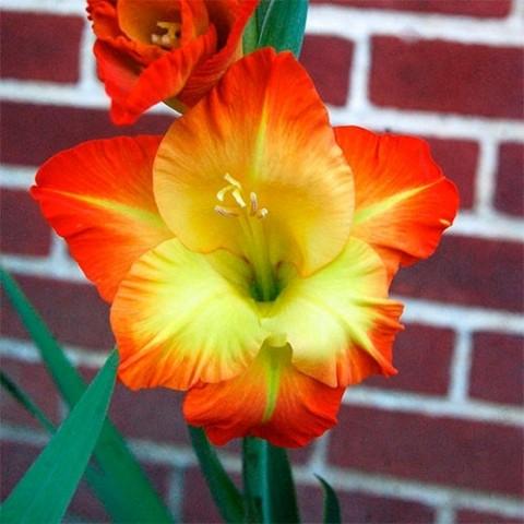 Гладиолус Sunshine фото