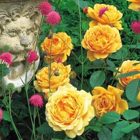 Роза Golden Celebration (плетистая) фото