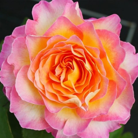 Роза Gorgeous фото