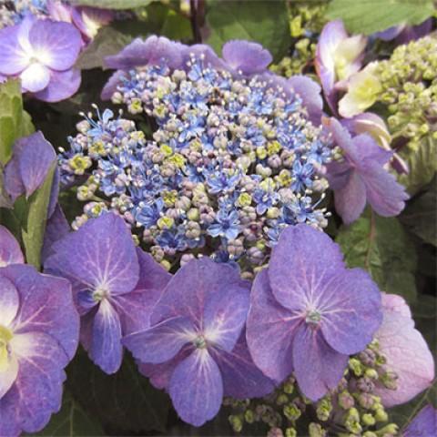 Гортензия Blueberry Cheesecake фото
