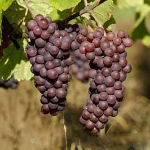Виноград Пино Гри фото