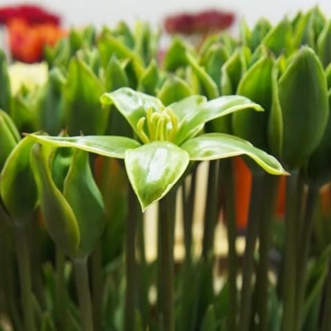 Тюльпан Green King фото